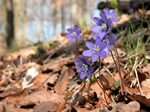 Hepatica (Hepatica nobilis)